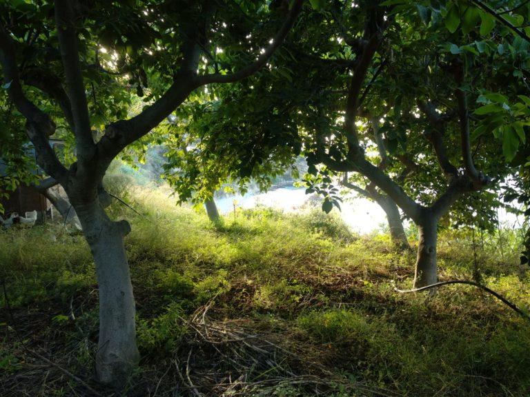 Des cherimoliers chez Benja irrigés par micro irrigation