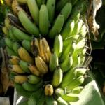 Bananes de Benja