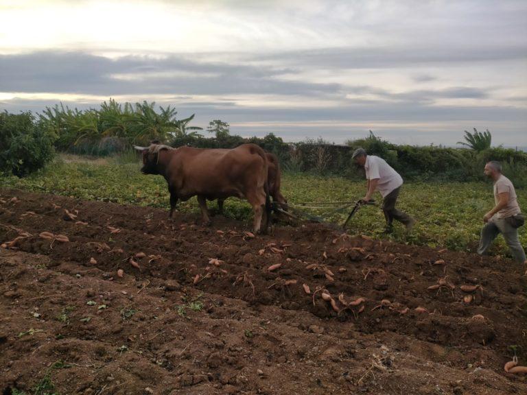 La récolte des patates douces