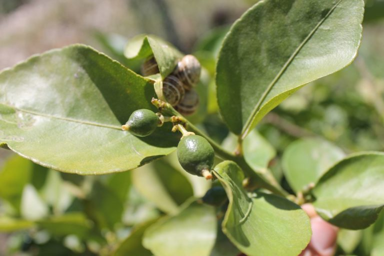 Escargots sur citronnnier