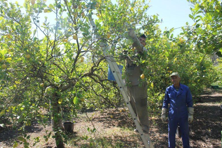 Récolte des citrons