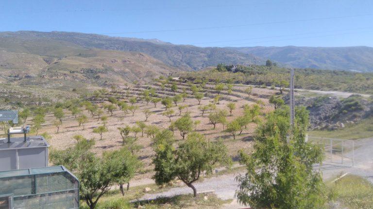 Les oliviers des montagnes d'Orgiva