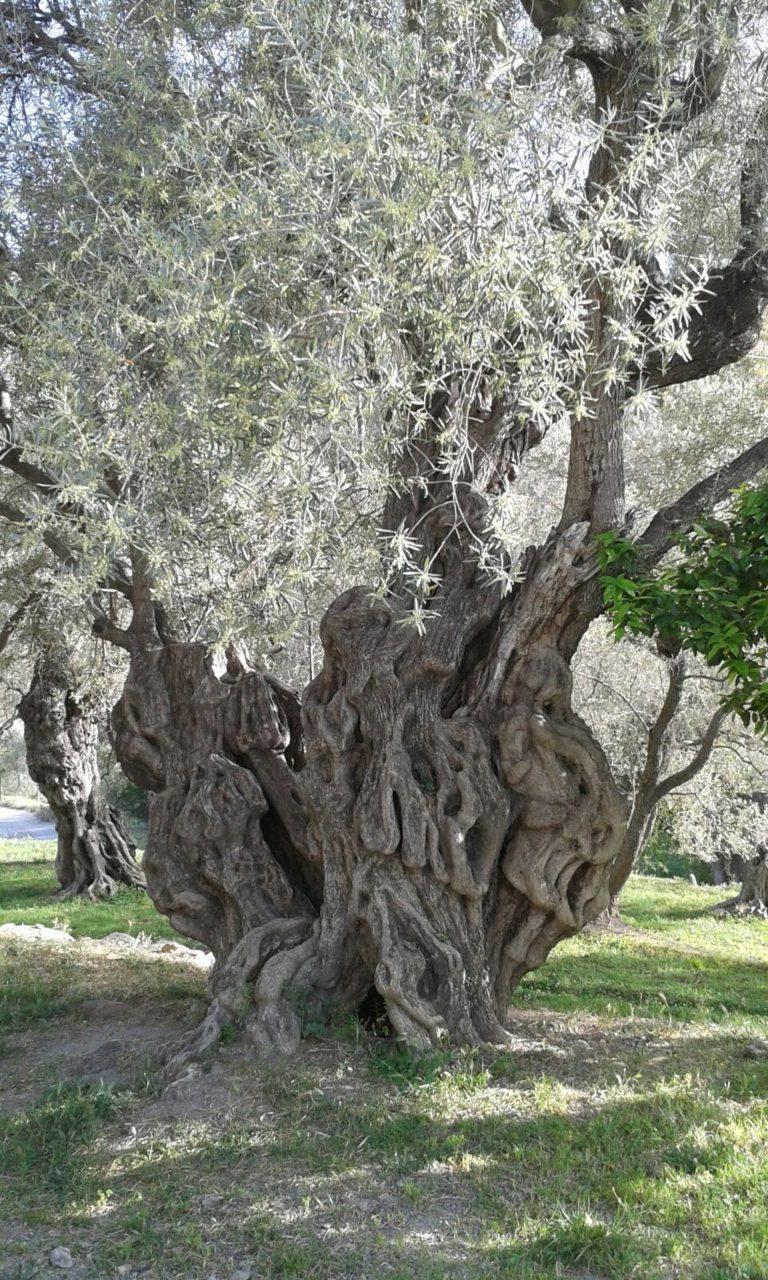 Un olivier centenaire