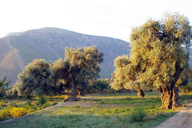 Des oliviers de la Flor de la Alpujarra