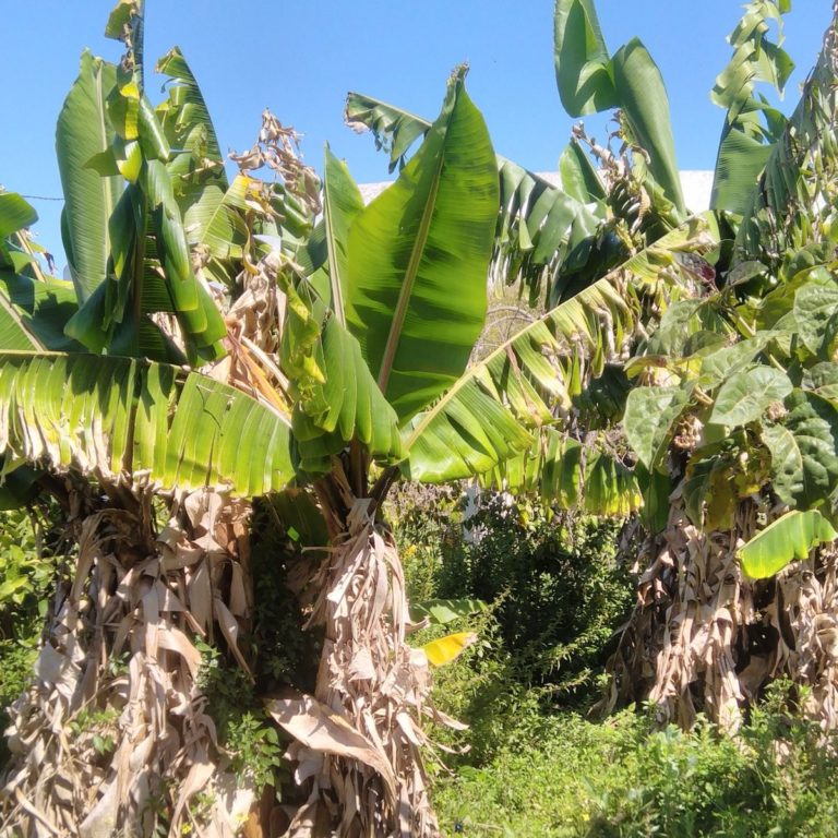 Quelques bananiers chez Jose antonio