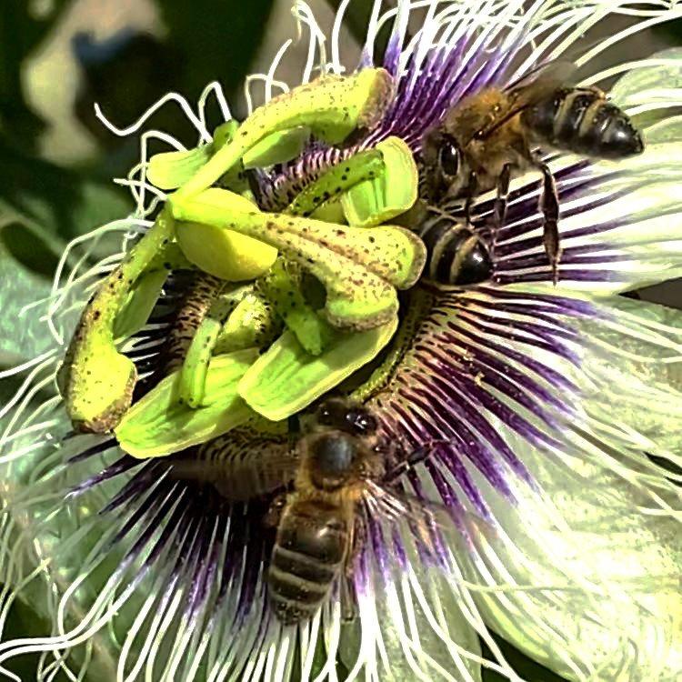 Des abeilles en train de butiner la fleur de maracuya